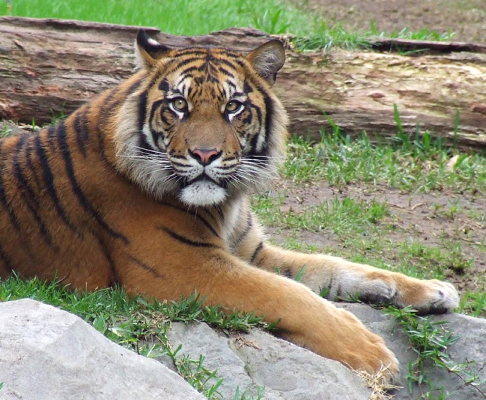 Tigre-sumatra